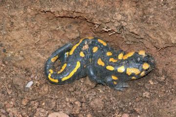 Immer wieder finden wir Salamander in den abgedeckten Schnitten.