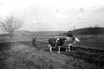 Ein Feld bei Wombach wird mit einem Ochsengespann gepflügt