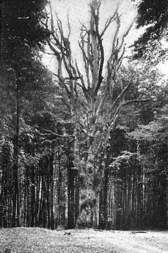 Die Wolfsbuche im Spessart bei Altenbuch war zur Zeitpunkt der Aufnahme (1909) über sechshundert Jahre alt. Ihren Namen erhielt der Baum im Jahre 1842, als an dieser Stelle der letzte Wolf des Spessarts erlegt wurde.
